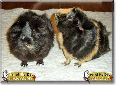 Our Two Adopted Guinea Pigs