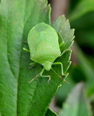 Meedle, the Little Green Beetle