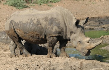 African Rhino with His Itchy Skin